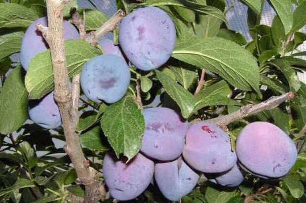 Новые сорта плодовых культур для вашего сада
