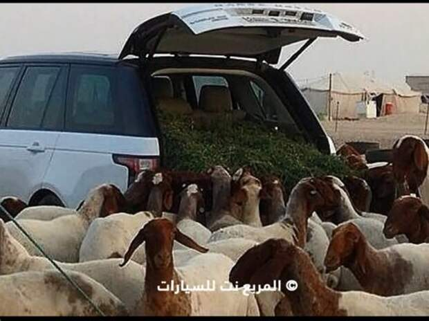 Салон Range Rover превратили в кормушку для овец (ВИДЕО)