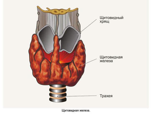Как проверить щитовидку в домашних условиях