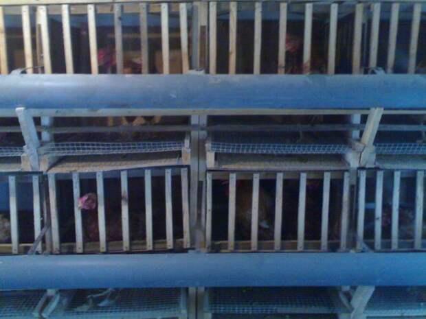 Да, они не котята! Но разве птицы не достойны сочувствия?! 50 000 пернатых были заперты на темной фабрике…