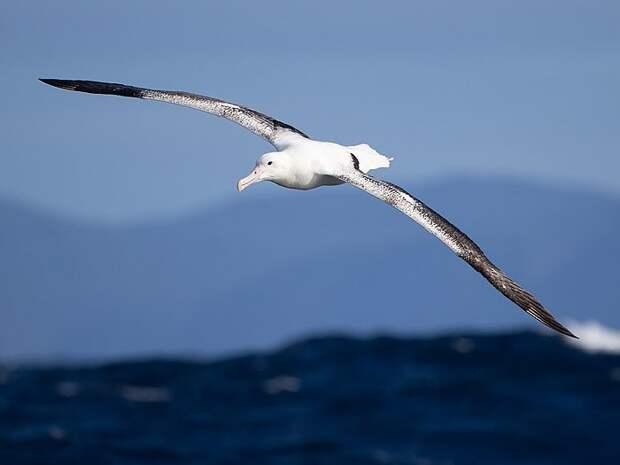 Полет королевского альбатроса