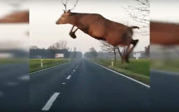 Полет оленя над машиной! Водителю крупно повезло