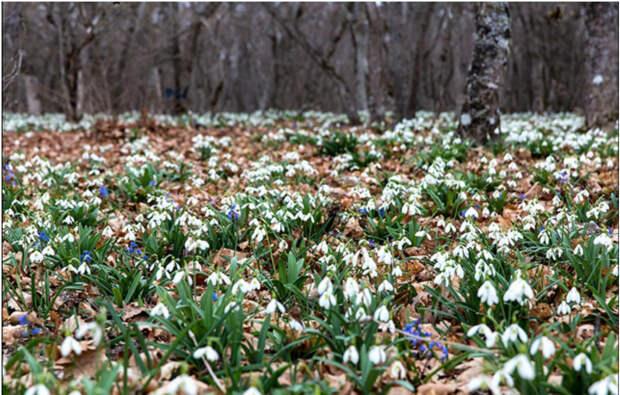 Вот так сегодня выглядят поляны в лесах Крыма интересное, подснежники, сорта, факты