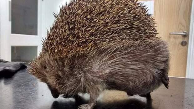 Британские ветеринары спасли ежа, который страдал от скопившихся газов