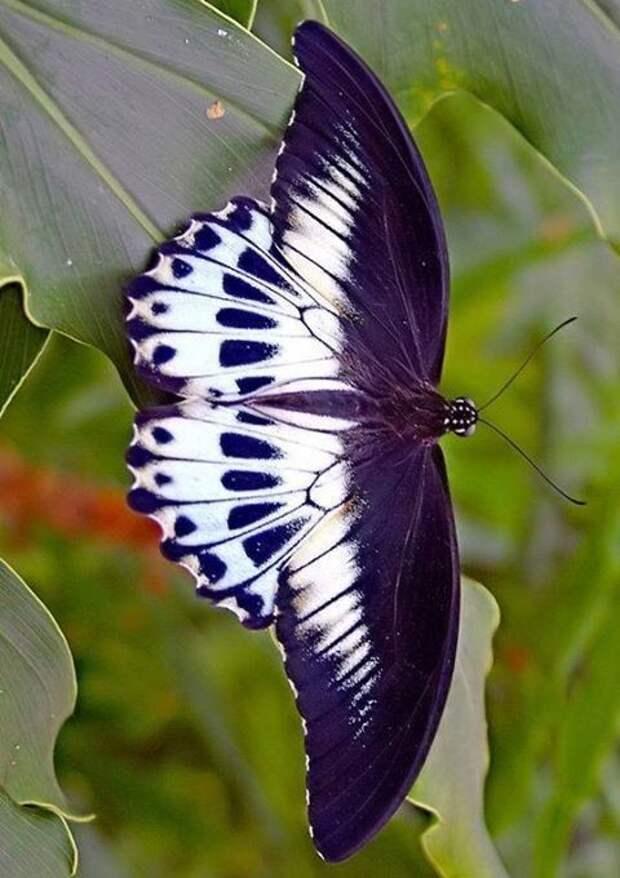 Куколка высокогорного аполлона (Parnassius charltonius anjuta) ускоряет свое развитие, если выпадает снег или ухудшается погода бабочки, интересное, красота, насекомые