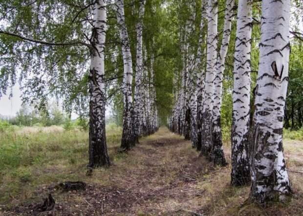 Деревья, которые помогут очистить выгребную яму на даче
