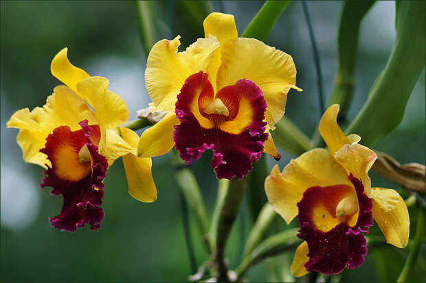 Орхидея домашняя фото