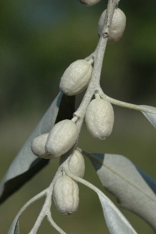 Плоды лоха фото В.Эпиктетова