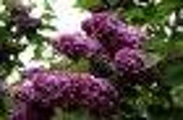Выставка сирени пройдет в «Аптекарском огороде» с 24 по 26 мая
