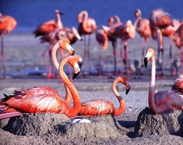 необычное гнездо фламинго