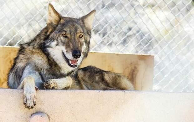 У щенка обнаружились не только физические признаки волка — янтарные глаза и грубая шерсть, — но и волчье поведение, поскольку эти животные не приспособлены к жизни домашней собаки. америка, волк, животное, собака, щенок