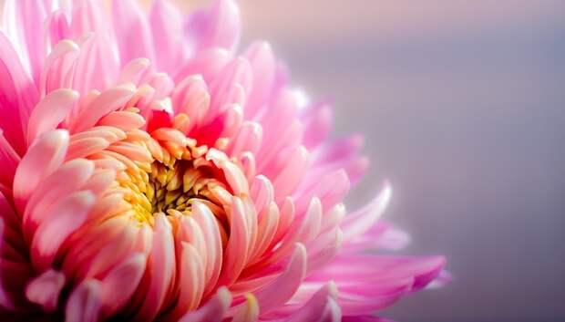 Зараженные цветочным трипсом хризантемы из Нидерландов уничтожили в Подмосковье