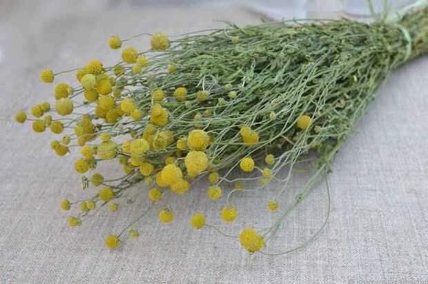Цефалофора – трава для чая с земляничным ароматом