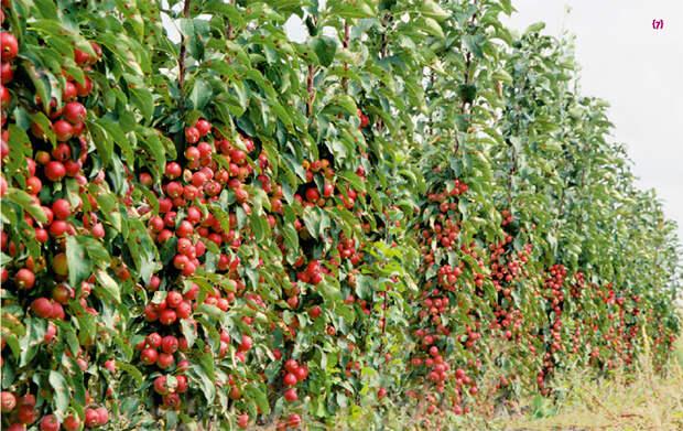 Нужно ли обрезать колоновидные яблони?