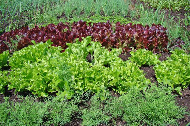Что сделать, чтобы салат и укроп выросли как можно раньше?
