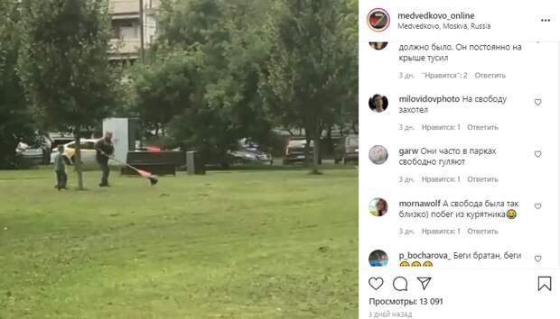 Павлин сбежал из птичника в сквере по Олонецкому проезду