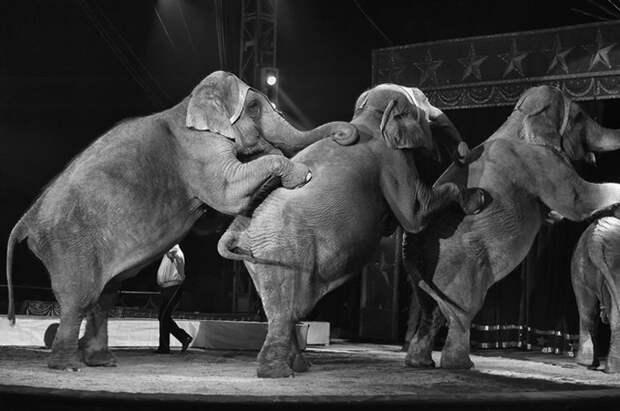 Теперь цирки Нью-Йорка обязаны обходиться без номеров со зверями.