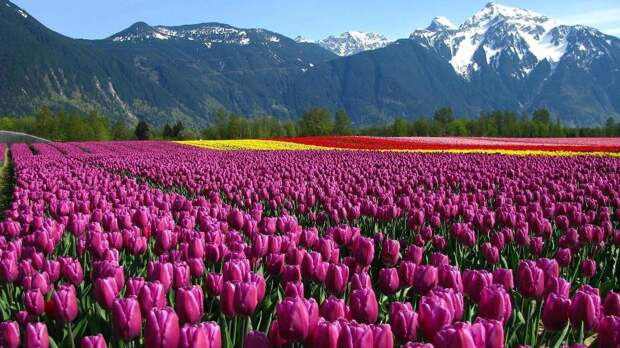 Поле тюльпанов фото