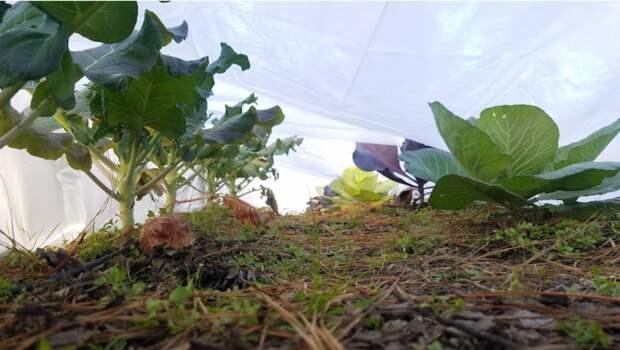 Как предотвратить проблемы с выращиванием брокколи на своем огороде.