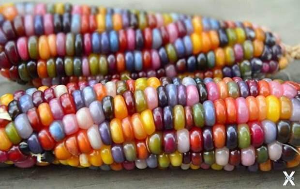 Сорт радужной кукурузы Glass Gem. Вар...