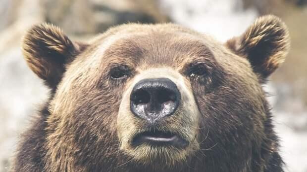 Подросток стал жертвой медведя в нацпарке Красноярска