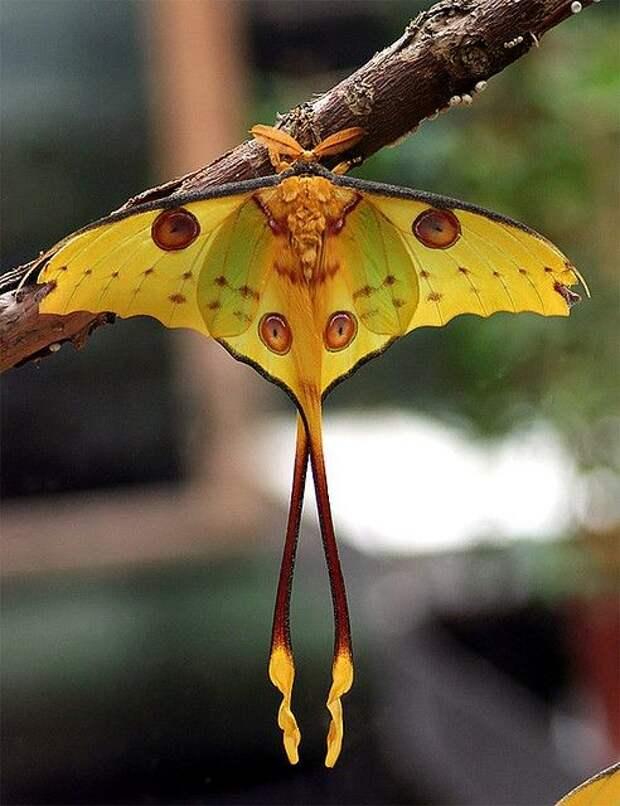 У бабочек нет сердца, вен и артерий - все это заменяет особая трубка, проходящая от брюшка к голове бабочки, интересное, красота, насекомые