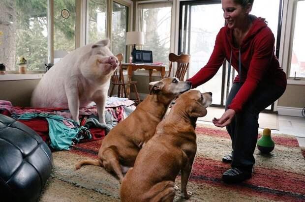 В доме у канадцев живёт свинья. Очень счастливая свинья животные, свинья