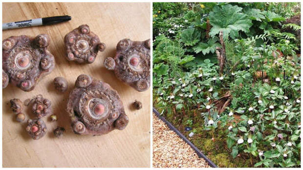 Дочерние клубни для посадки, фото Hillside Nursery и ариземы в рокарии, фото сайта Scottish Rock Garden Club