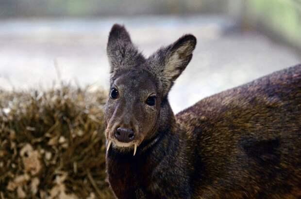 Водяной олень: 7 интересных фактов о редком животном