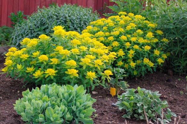 Многолетний садовый цветок Молочай (Euphorbia)