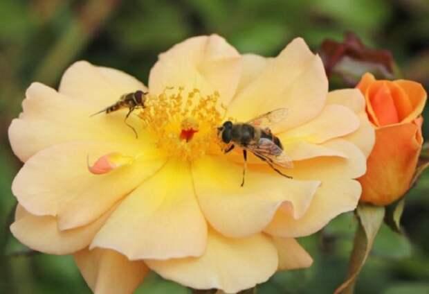 Почвопокровная роза Амбер Сан