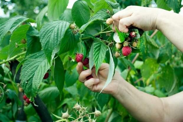 Иммунолог рассказала о самых полезных напитках из ягод