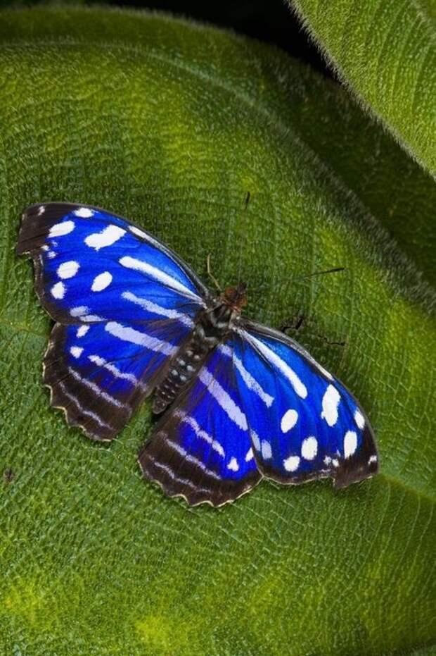 Одни из самых прожорливых существ мира - гусеницы бабочки сатурнии Полифемы (Antheraea polyphemus) - едва появившись на свет гусеница съедает листвы в 86 ТЫСЯЧ раз больше собственного веса бабочки, интересное, красота, насекомые