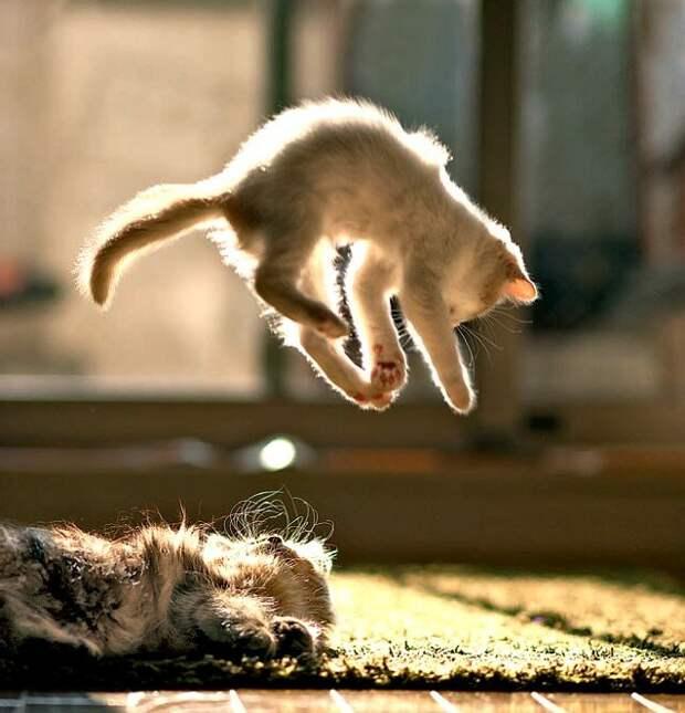 Почему кошка всегда приземляется на лапы?
