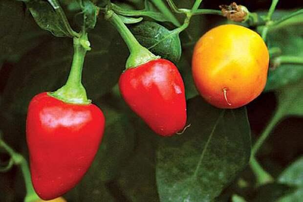 Торопитесь! Середина марта — последний срок для посева перца!