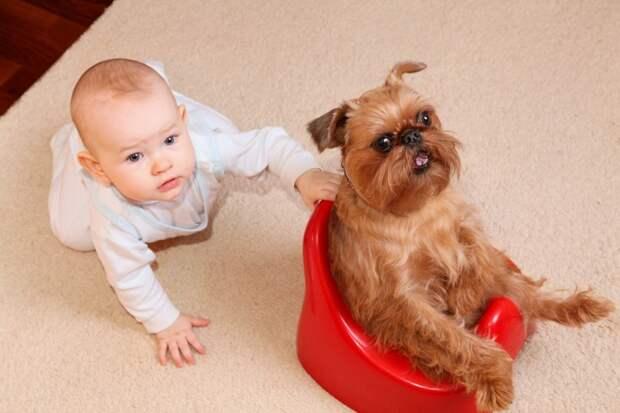 миниатюрная собака породы Брюссельский гриффон. фото