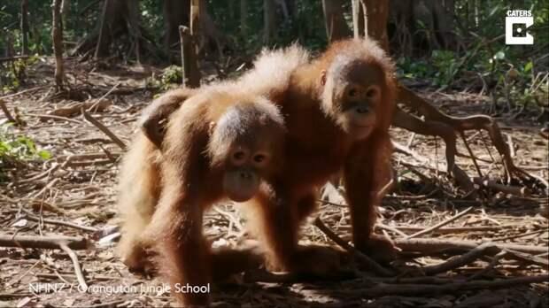 Два орангутанга с трудной судьбой стали лучшими друзьями видео, дикая природа, дикие животные, забавно, забавные животные, мило, обезьяны