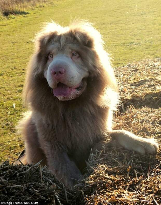 Шарпей стал настоящим любимцем публики  лев, шарпей