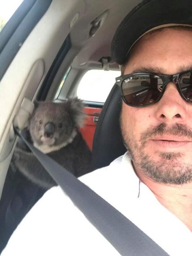 Забавная встреча: спасаясь от жары, коала забралась в машину с кондиционером встреча, животные, забавно, история, коала, кондиционер