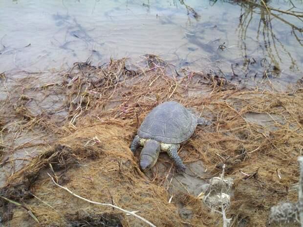 Российские черепахи