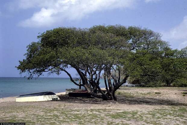 Mancinella tree, deadliest in the world | amazing.zone