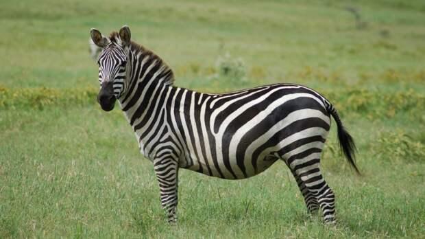 В барнаульский зоопарк привезут зебру из Красноярска