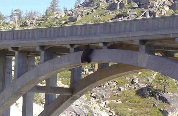 Видео: Медведь провисел на мосту 24 часа, но не отчаялся и дождался помощи