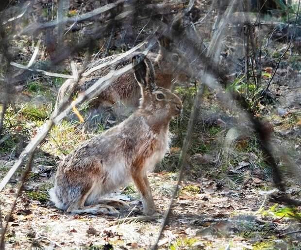 Краснокнижных зайцев заметили в Серебряном Бору