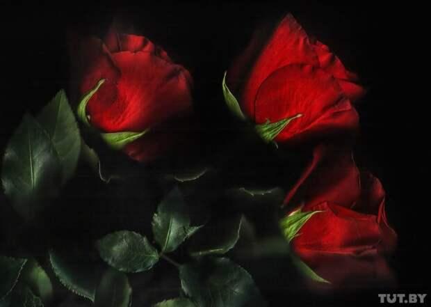Роза гвоздика, интересно, растение, роза, тюльпан, факты, цветок, цветы