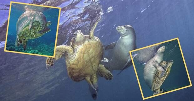 Тюлень просто проплывал мимо, когда увидел большую черепаху. И что же он начал с ней делать? В жизни не догадаетесь! :)