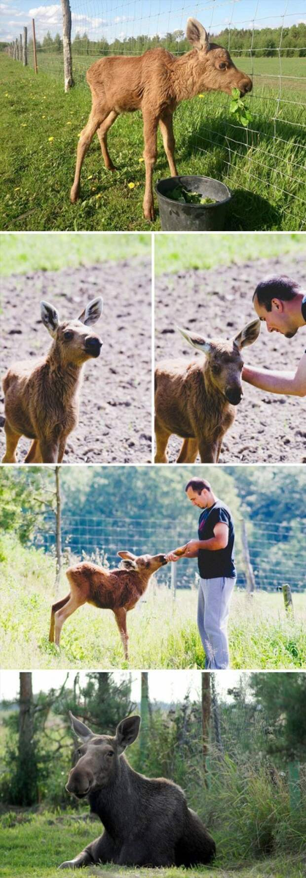 Спасенный лосенок каждый день приходит к своему спасителю, чтобы поиграть с ним Счастливый конец, животные, спасение