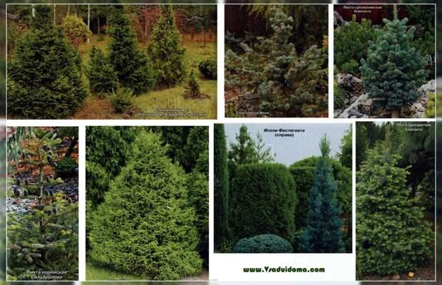 Садовая ель или сосны, пихты туи и можжевельники вместо елки на Новый Год