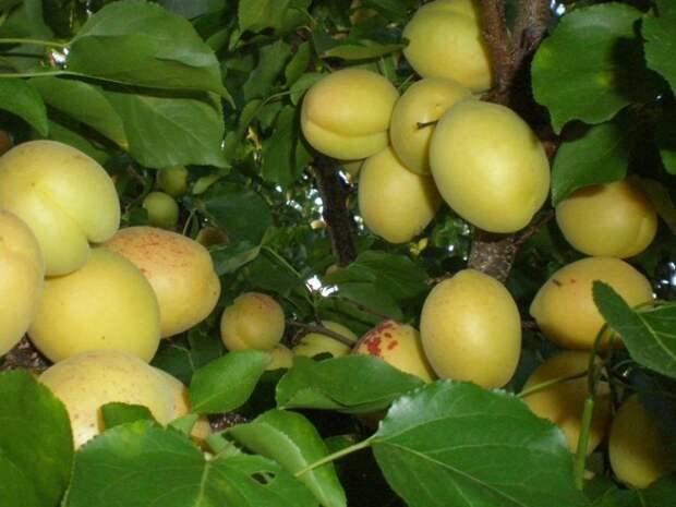 Шалах − изысканный сорт абрикосов с ананасовым вкусом