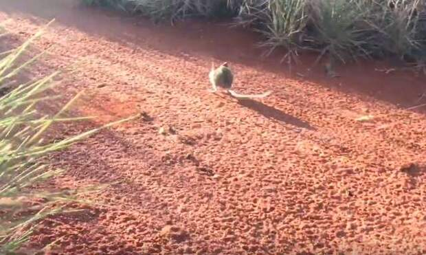 мышь в пустыне